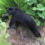 Vanligtvis så är björnar inte alls intresserad av att komma i kontakt med människor.