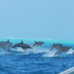 Delfiner som hoppar intill båten.